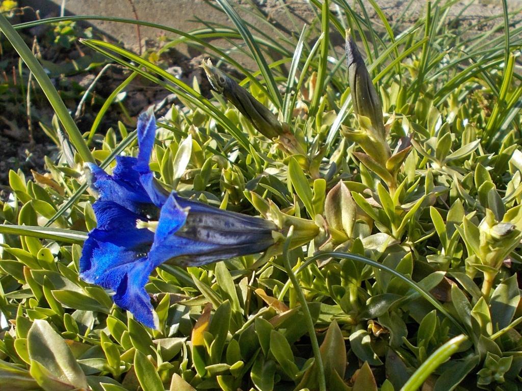 Erste Frühlingsboten im Garten und in Wald und Flur - Seite 91 Enzian10
