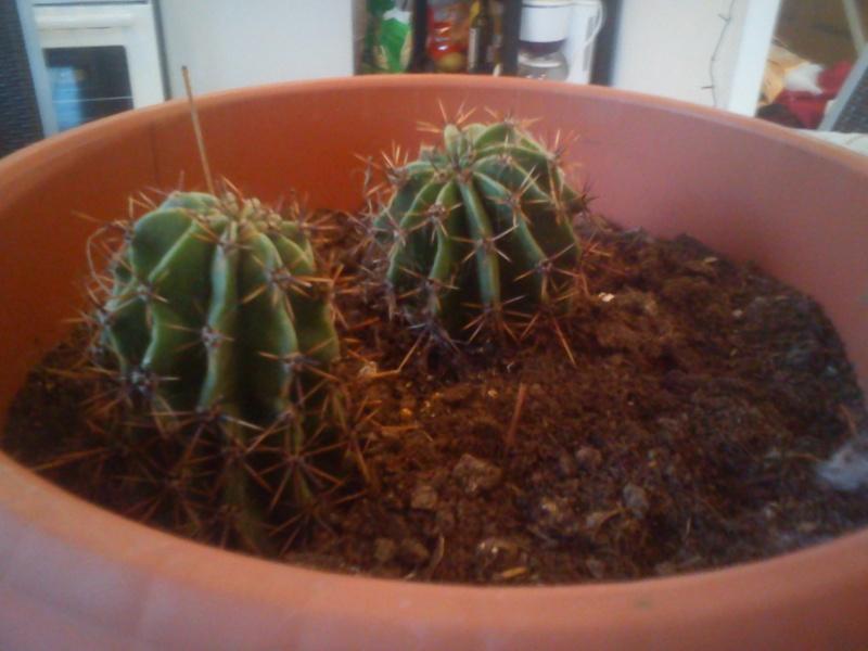 Comment bouturer cet sorte de Cactus ? Dsc00113