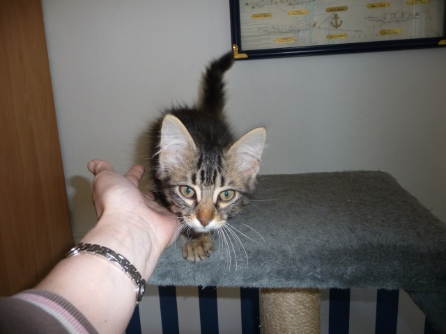 HALF, chaton tigré aux poils longs, né vers le 15 Avril 2012 07_07_13