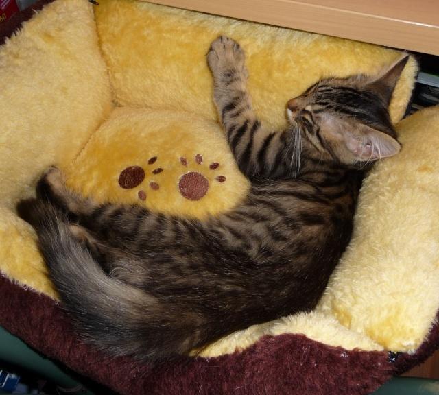 HALF, chaton tigré aux poils longs, né vers le 15 Avril 2012 07_20110