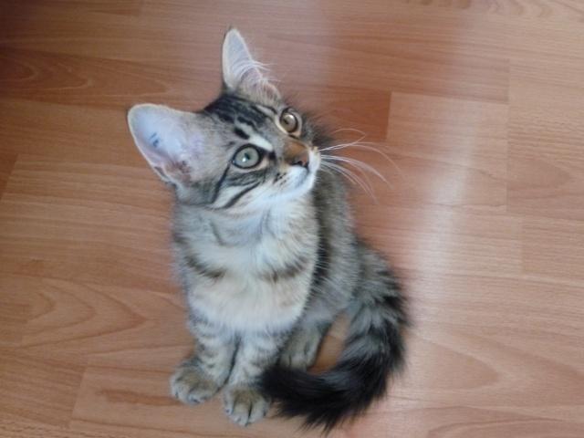 HALF, chaton tigré aux poils longs, né vers le 15 Avril 2012 14_07_16