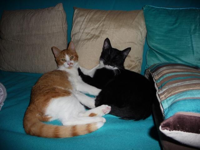 Hélium, chaton roux et blanc né fin Juin 2012 17_11_14