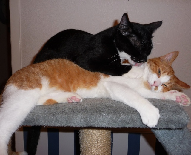 Hélium, chaton roux et blanc né fin Juin 2012 24_11_10