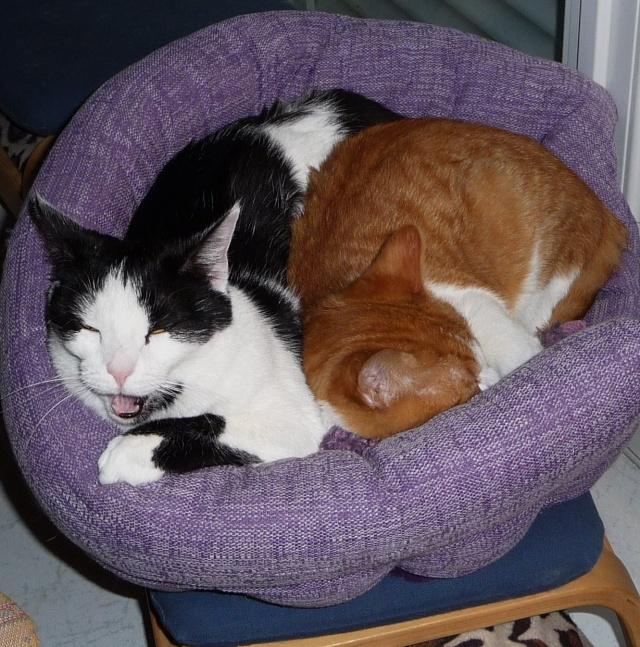 Hélium, chaton roux et blanc né fin Juin 2012 24_11_12