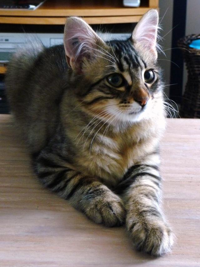 HALF, chaton tigré aux poils longs, né vers le 15 Avril 2012 28_07_21