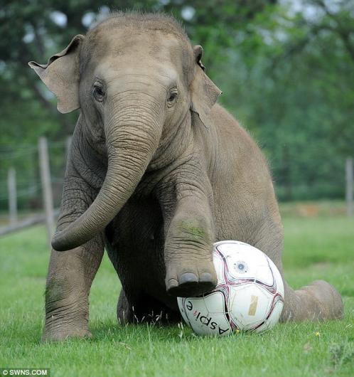 فيل يلعب كرة القدم ببراعة 28516010