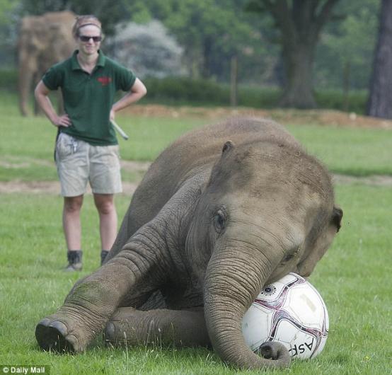 فيل يلعب كرة القدم ببراعة 28516017
