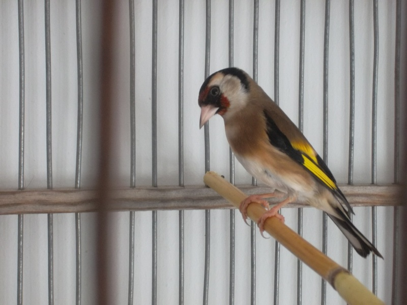 chant femelle chardonneret