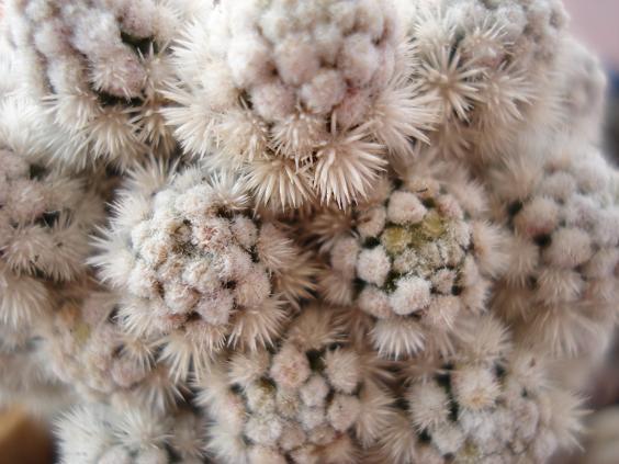 Mammillaria vetula spp gracilis cv Snowcap 411
