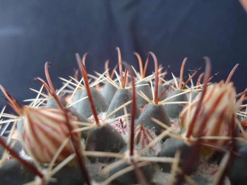 Mammillaria uncinata 713