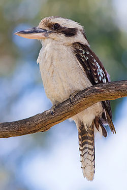 [Australie] - Le Kookaburra : cet oiseau est un martin-chasseur géant 250px-11