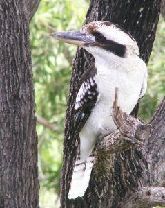 [Australie] - Le Kookaburra : cet oiseau est un martin-chasseur géant Kookab11