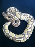 some of my ball python morphs Mail-510