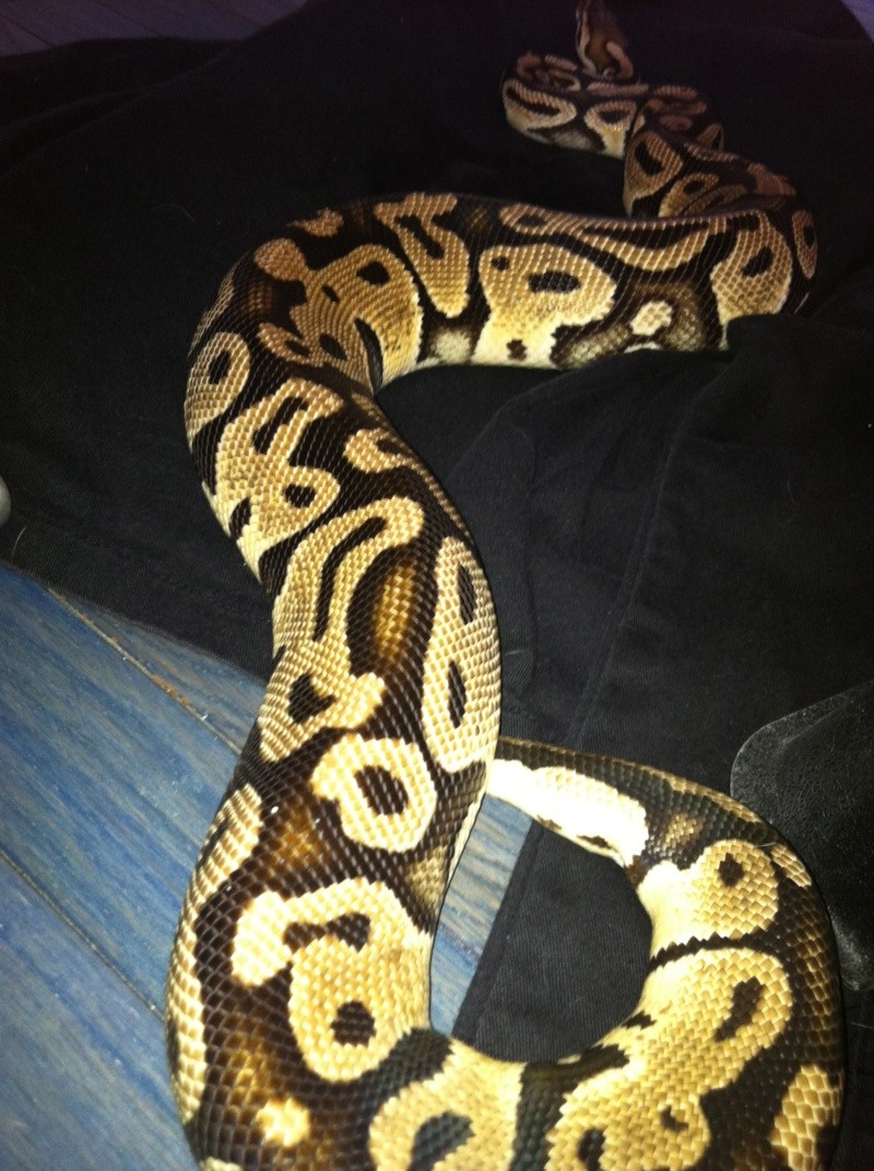 some of my ball python morphs Photo-16