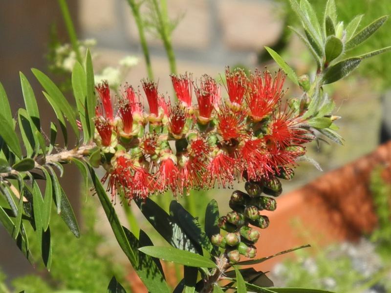 Begleitpflanzen der Kakteen in Haus und Garten - Seite 4 Callis11