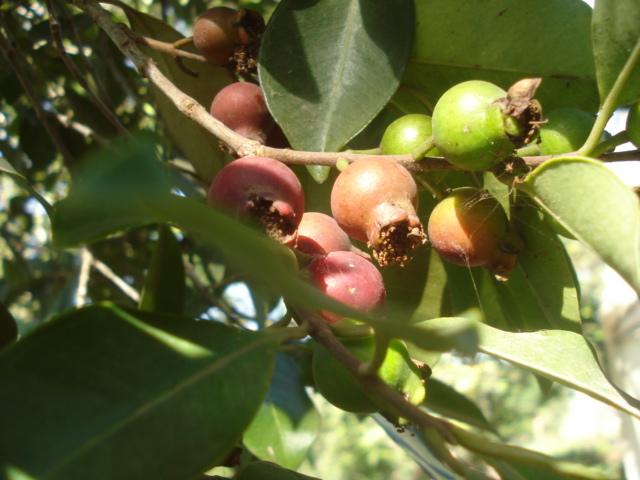 Présentation de mes fruitiers Goyavi10