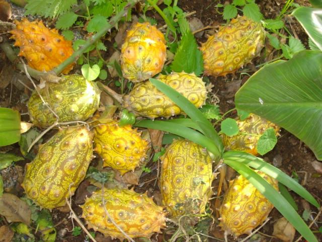 Présentation de mes fruitiers Kiwano10