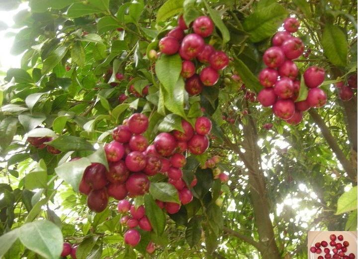 Présentation de mes fruitiers Syzygi10