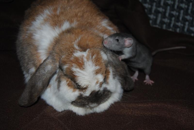 Cohabitation entre lapins et rats 1_31_j13