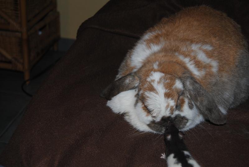 Cohabitation entre lapins et rats 1_31_j14