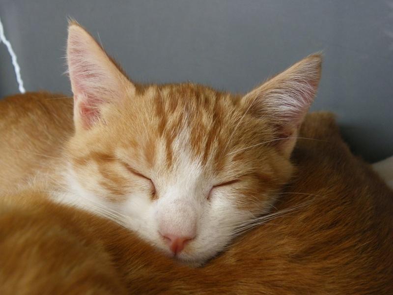 GIBBS (chaton mâle roux et blanc) Imgp0010