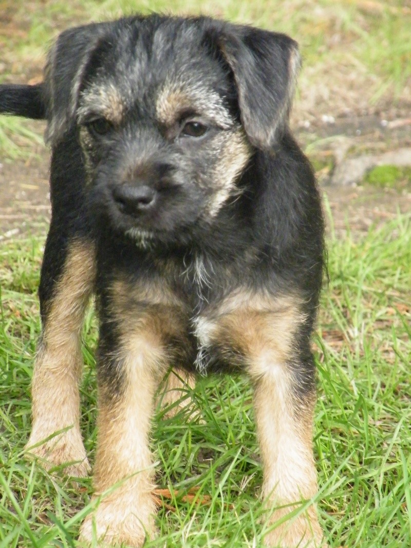 Chiots Border Terrier LOF Dscf4211
