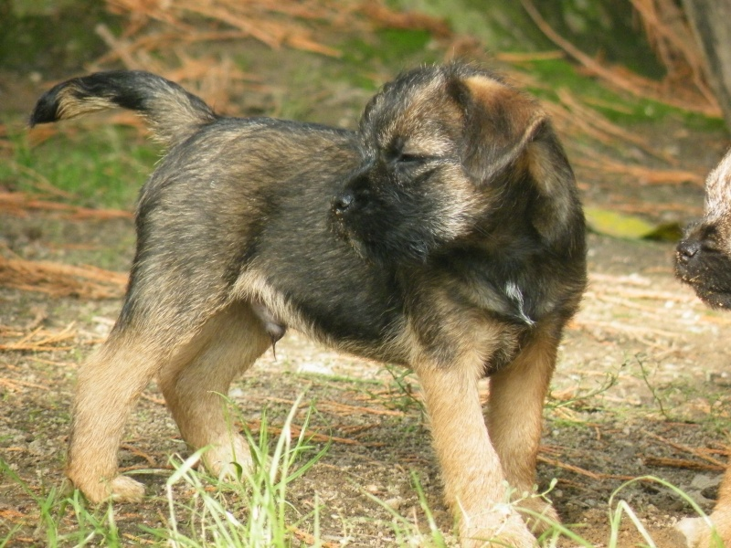 Chiots Border Terrier LOF Dscf4215