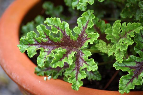 Pelargonium quercifolium Gege11