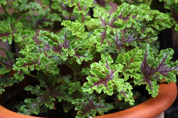 Pelargonium quercifolium Gegepo10