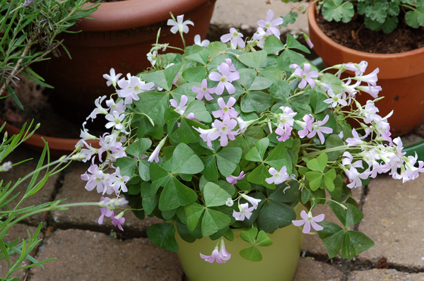 Oxalis triangularis Oxalis10