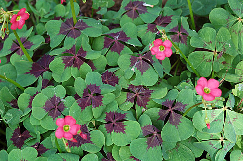 Oxalis triangularis Oxalis12