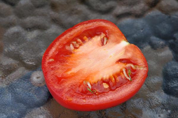 Les inventions des plantes  Tomate10