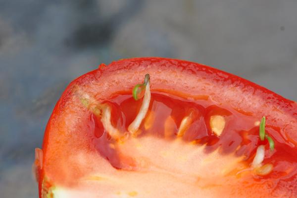 Les inventions des plantes  Tomate11