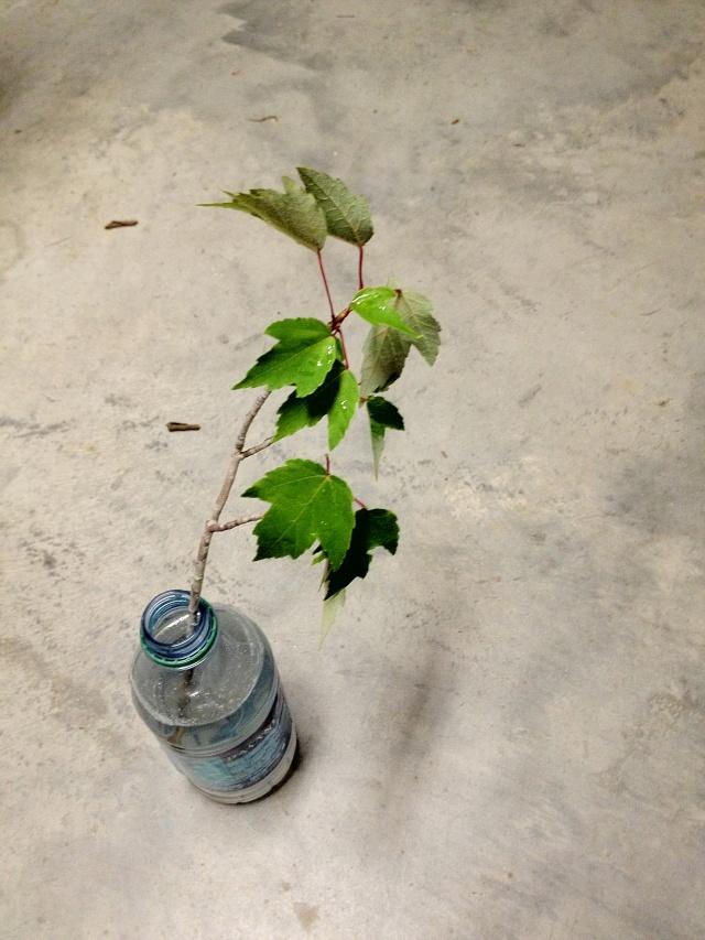 Help Identifying Maple? Img_0931
