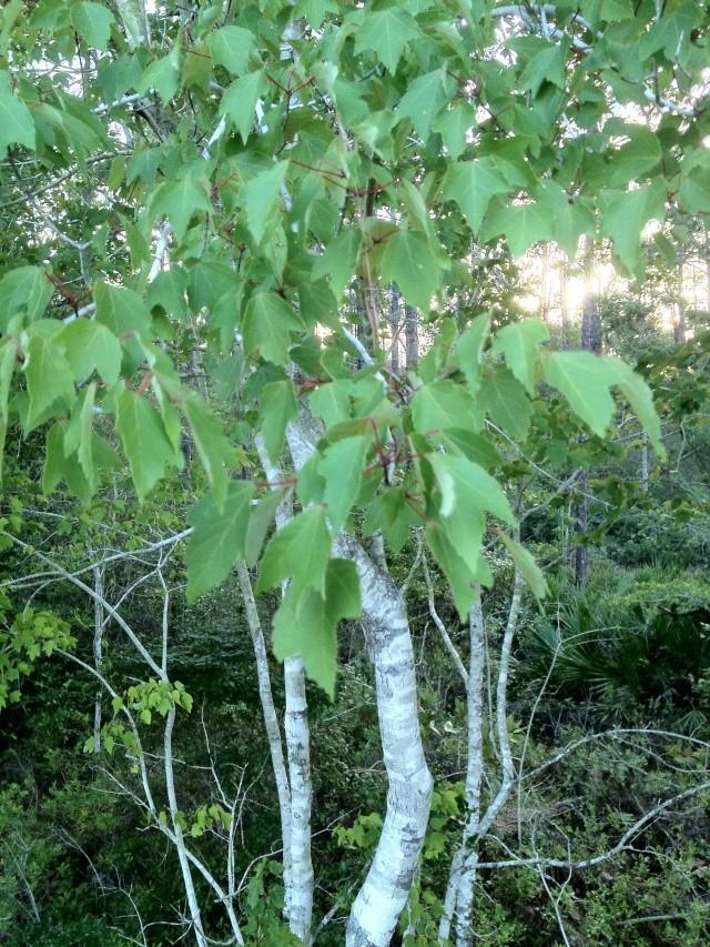Help Identifying Maple? Img_0941
