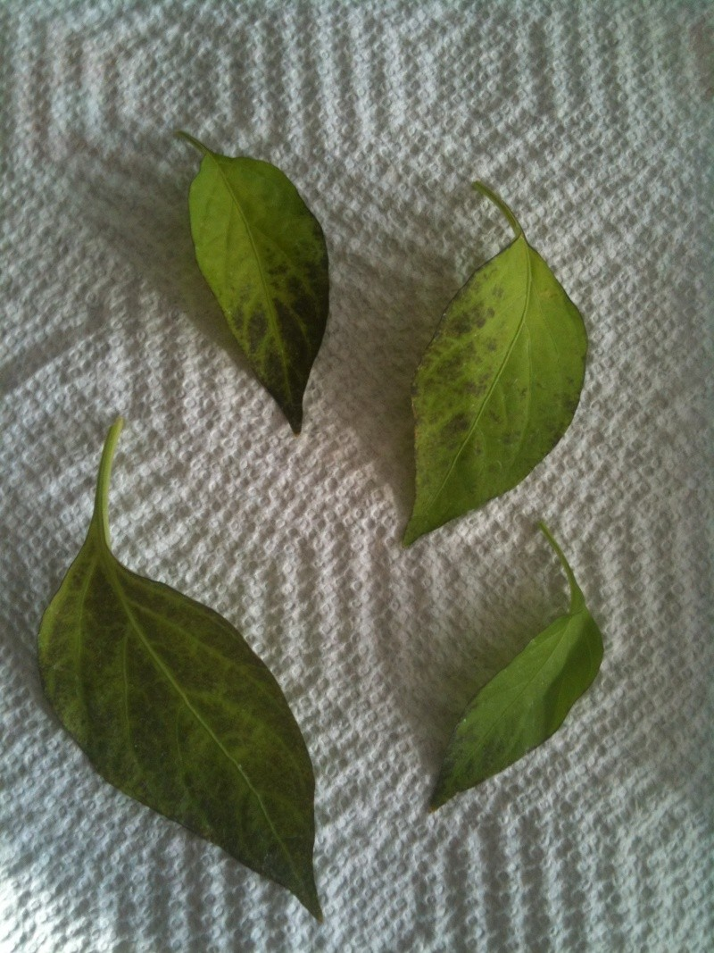 Cajun Bell Pepper, Black Leaves Leaves11