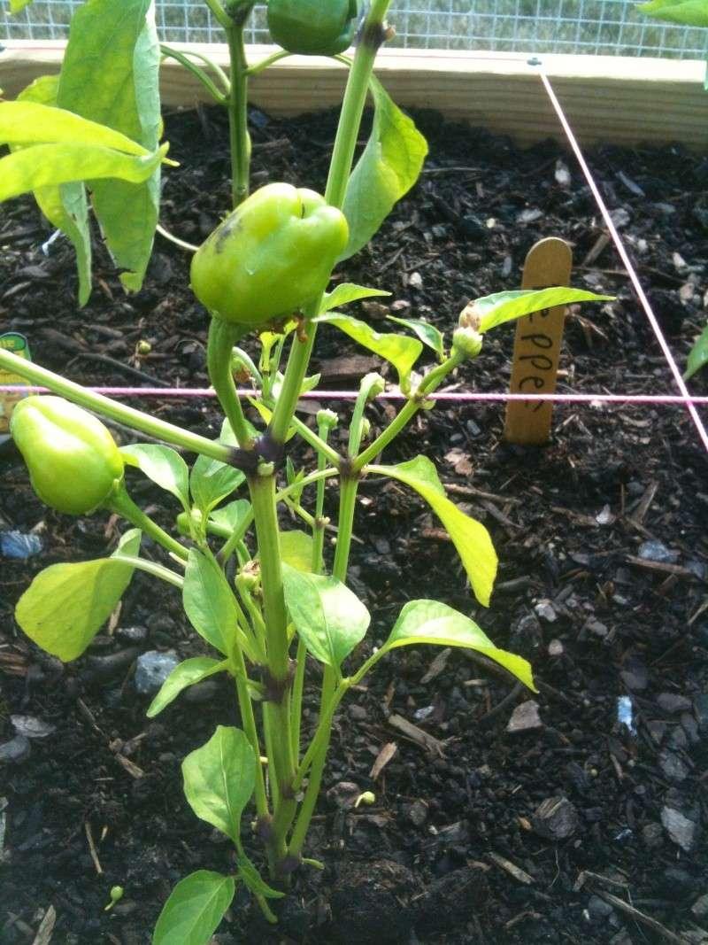 Cajun Bell Pepper, Black Leaves Plant_10