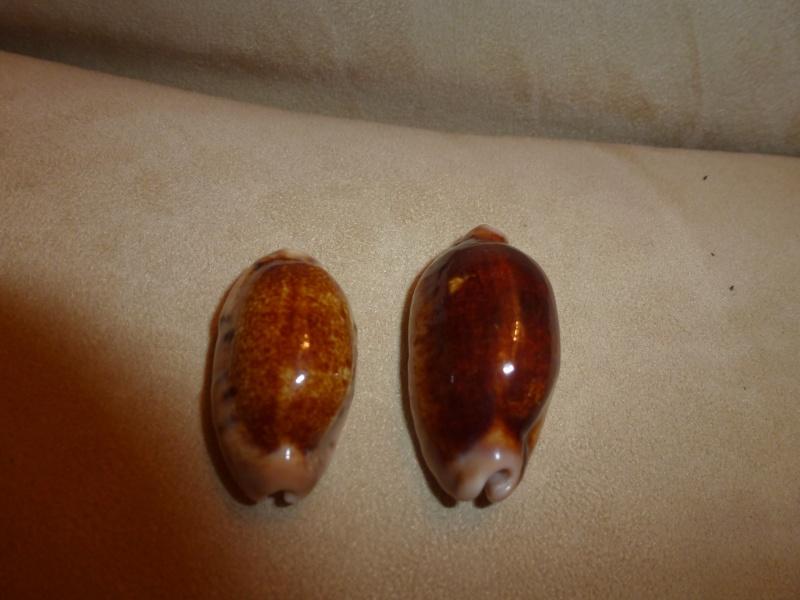 Cypraea diverses - Nigers et Rostrées... - Page 2 P1010716