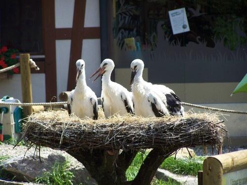 STREET VIEW : les cigognes et leurs nids  Hunawi11