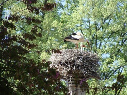 STREET VIEW : les cigognes et leurs nids  Parc_d11