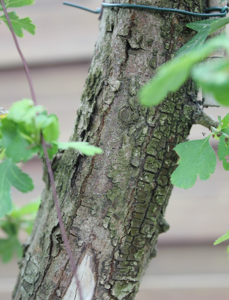How to properly treat dead wood of hollow Hawthorn 2012-026