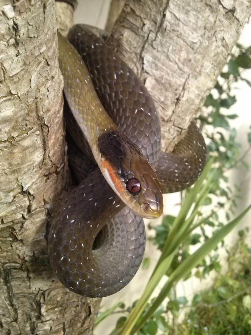Crotaphopeltis hotamboeia (red lipped/herald snake) Cam00311