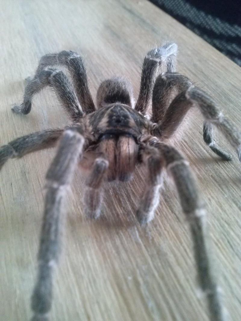 Harpactira gigas (common baboon spider) Cam00412