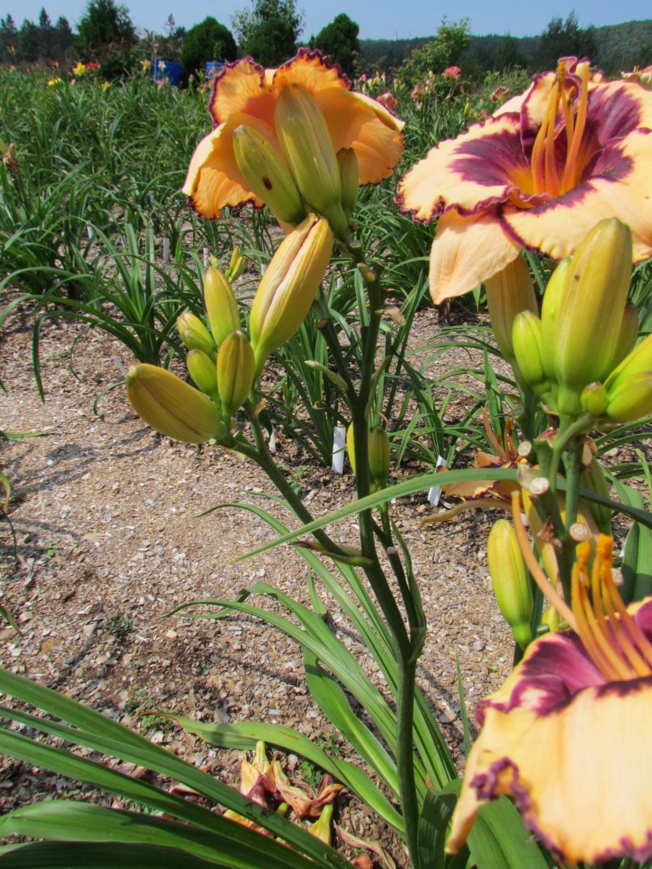 Mes hybrides: Semis 2011 encore au jardin - Page 2 11956_10