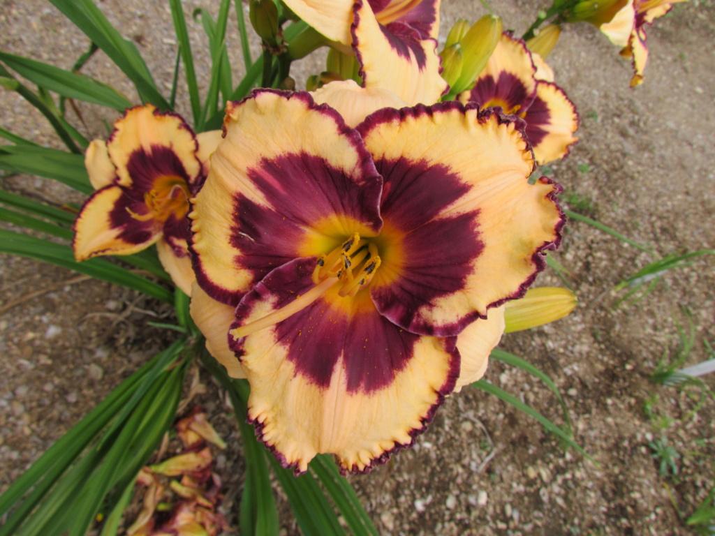 Mes hybrides: Semis 2011 encore au jardin - Page 2 11956_12