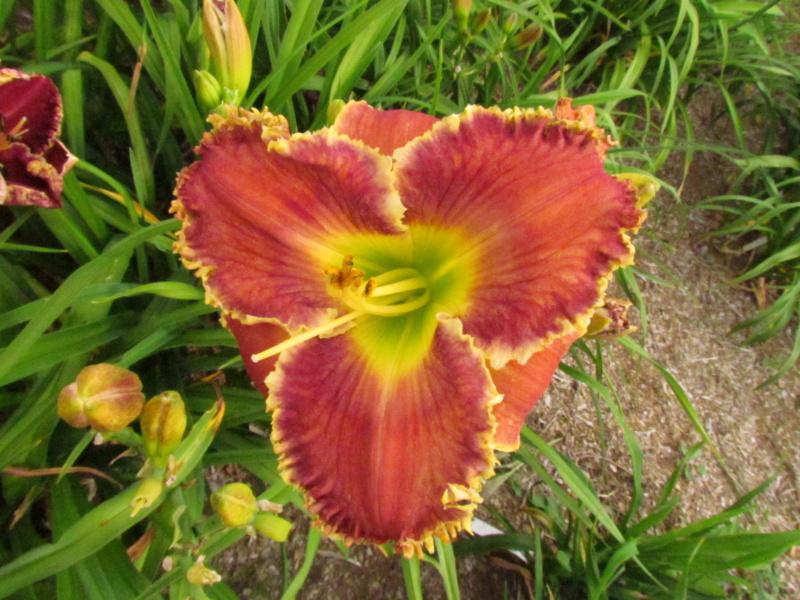Mes hybrides: Semis 2013 au jardin - Page 2 13223-11