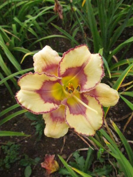 Mes hybrides: Semis 2013 au jardin - Page 2 13277-10