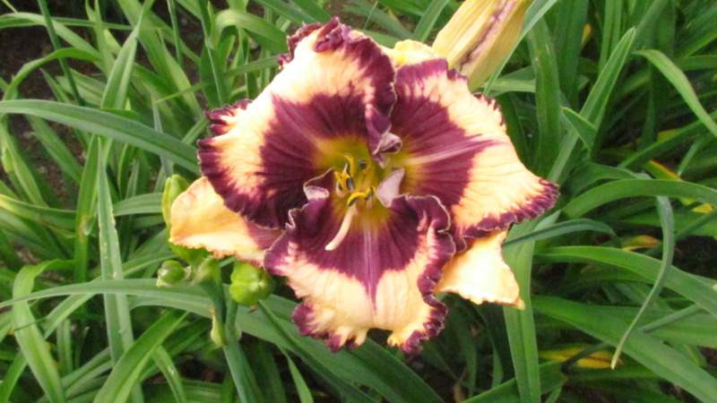 Mes hybrides: Semis 2013 au jardin - Page 2 13278-10