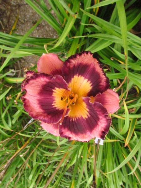 Mes hybrides: Semis 2013 au jardin - Page 2 13593-10