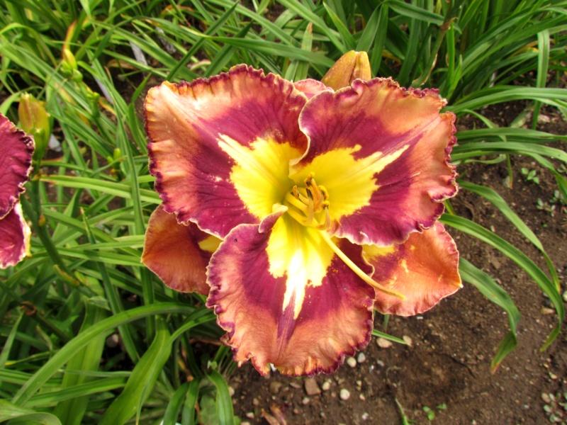 Mes hybrides: Semis 2013 au jardin - Page 2 13694-10